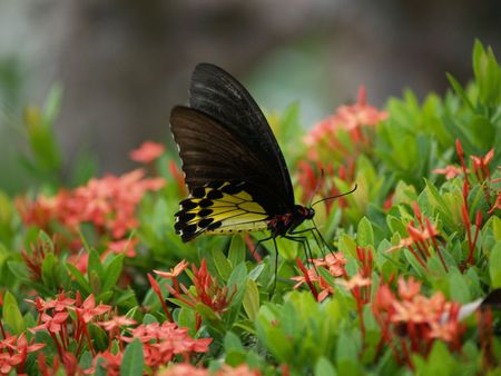 exotic butterflies: Mariposas ex�ticas de Tailandia, la isla Phuket 6
