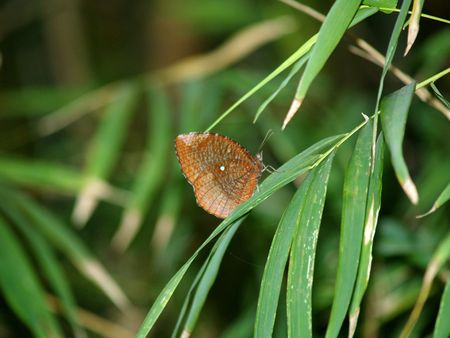 exotic butterflies: Mariposas ex�ticas de Tailandia, la isla Phuket 9 Foto de archivo