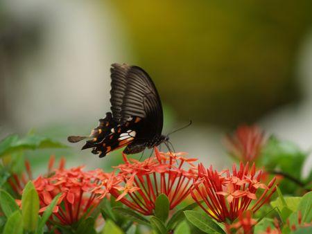 exotic butterflies: Mariposas ex�ticas de Tailandia, la isla Phuket 15 Foto de archivo