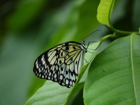exotic butterflies: Mariposas ex�ticas de Tailandia, la isla Phuket 16  Foto de archivo
