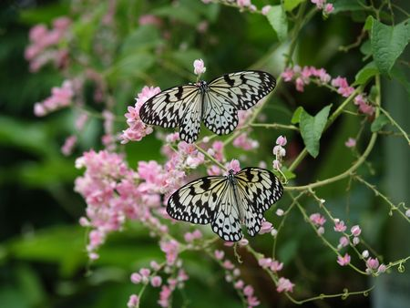 exotic butterflies: Mariposas ex�ticas de Tailandia, la isla Phuket 20