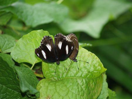 exotic butterflies: Mariposas ex�ticas de Tailandia, la isla Phuket 23