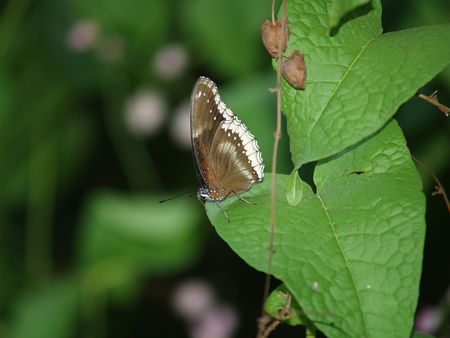 exotic butterflies: Mariposas ex�ticas de Tailandia, la isla Phuket 24