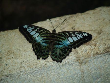 exotic butterflies: Mariposas ex�ticas de Tailandia, la isla Phuket 29
