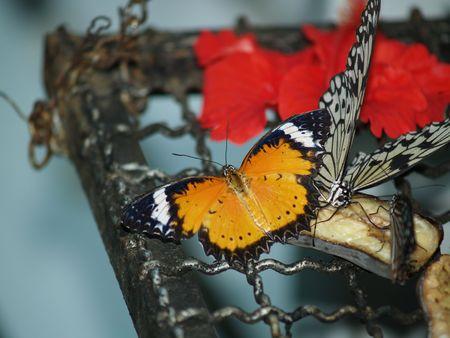 exotic butterflies: Mariposas ex�ticas de Tailandia, la isla Phuket 30