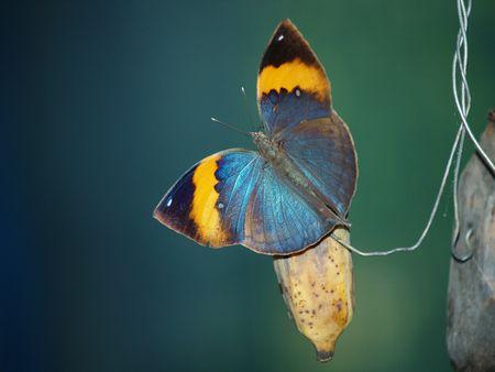exotic butterflies: Mariposas ex�ticas de Tailandia, la isla Phuket 31