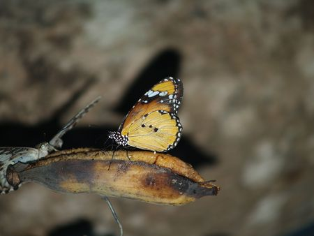 exotic butterflies: Mariposas ex�ticas de Tailandia, la isla Phuket 32