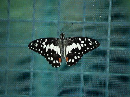 exotic butterflies: Mariposas ex�ticas de Tailandia, la isla Phuket 36  Foto de archivo