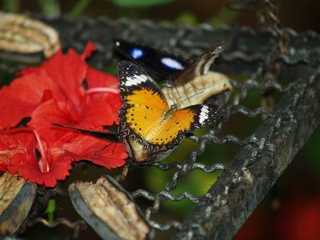 exotic butterflies: Mariposas ex�ticas de Tailandia, la isla Phuket 35