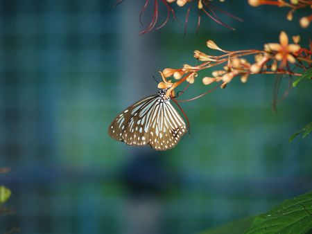 exotic butterflies: Mariposas ex�ticas de Tailandia, la isla Phuket 34