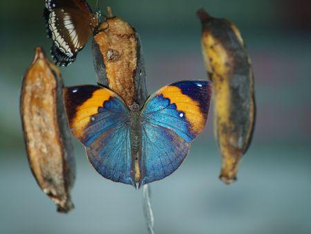 exotic butterflies: Mariposas ex�ticas de Tailandia, la isla Phuket 38