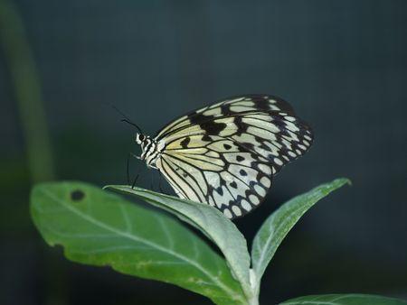 exotic butterflies: Mariposas ex�ticas de Tailandia, la isla Phuket 39  Foto de archivo