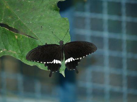 exotic butterflies: Mariposas ex�ticas de Tailandia, la isla Phuket 41