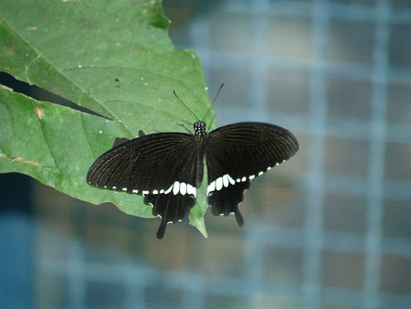 exotic butterflies: Mariposas ex�ticas de Tailandia, la isla Phuket 40  Foto de archivo