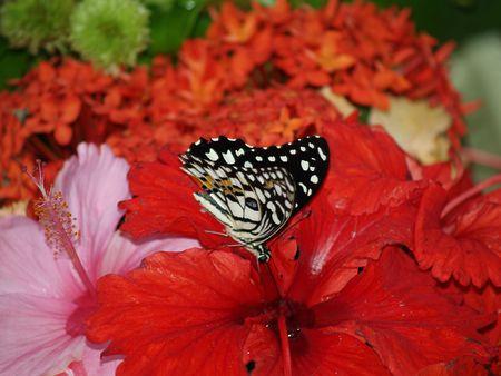 exotic butterflies: Mariposas ex�ticas de Tailandia, la isla Phuket 48  Foto de archivo