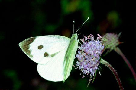Wonderful day time butterflies of Russia: Pieris brassicae 2 photo