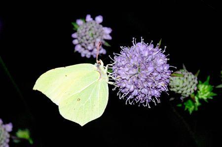 Wonderful day time butterflies of Russia: Gonepteryx rhamni 1 Stock Photo - 6002944