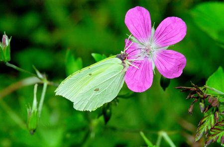 gonepteryx: Wonderful day time butterflies of Russia: Gonepteryx rhamni 2 Stock Photo