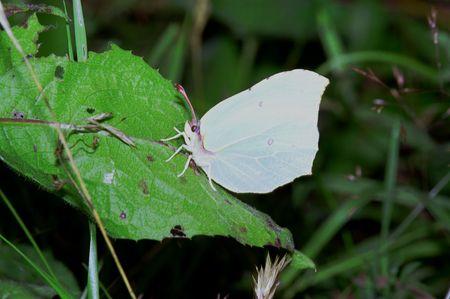 Wonderful day time butterflies of Russia: Gonepteryx rhamni 3 photo