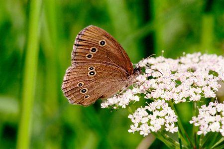 hyperantus: Wonderful day time butterflies of Russia: Aphantopus hyperantus 2