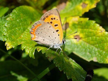 lycaena: Butterflies of Kunashir, Lycaena phlaeas, southern Kuriles Stock Photo