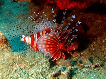 scorpionfish: Underwater inhabitants of the South-Chinese sea, scorpionfish