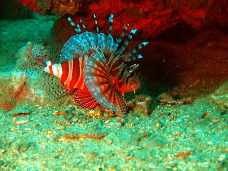 Scorpionfish, Vietnam, Nha Trang photo