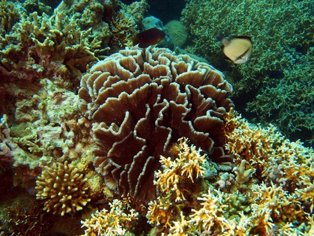 stony corals: Stony corals of the South-Chinese sea