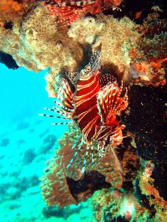 scorpionfish: Scorpionfish, Vietnam, Nha Trang