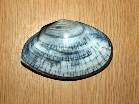 mollusc: Underwater life the Sea of Okhotsk: mollusc Peronidia venulosa