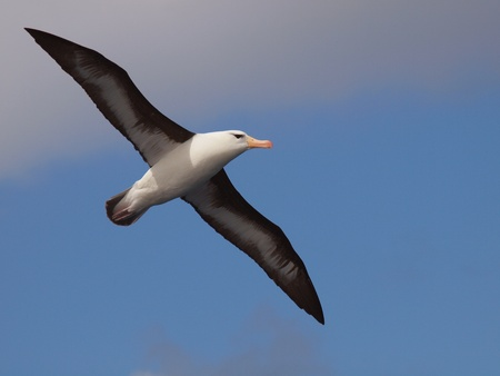 Sea birds of southern Atlantic, dark-browed albatross