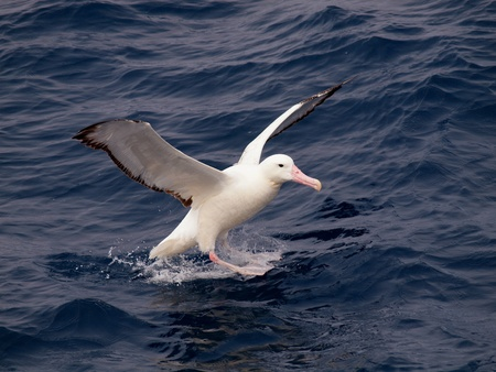 Sea birds of southern Atlantic, wandering albatross