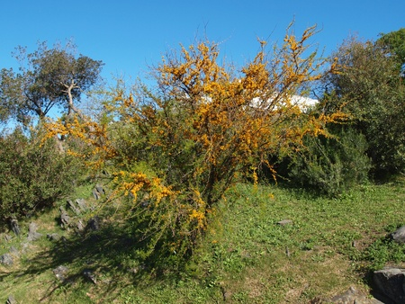 Specific pictures of Uruguay, tree of a mimosa photo