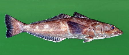 Sea animals of southern Atlantic, Patagonian toothfish