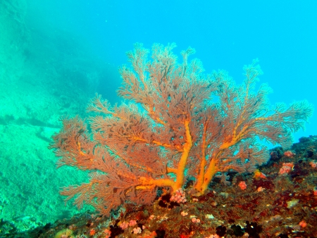 gorgonian: Tropical gorgonian, Vietnam