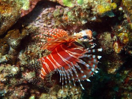 scorpionfish: Dangerous tropical fish, scorpionfish, Vietnam