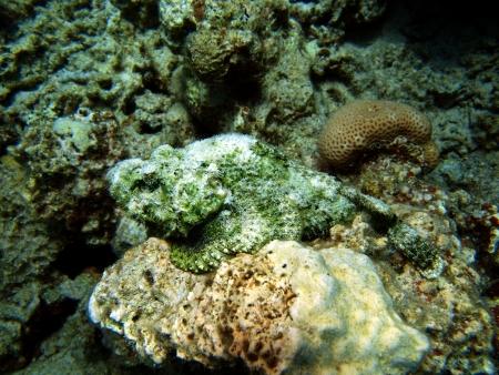 scorpionfish: Scorpionfish, Red sea, Dahab