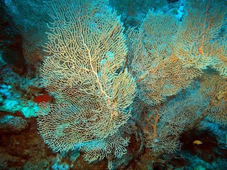 deg: Gorgone coral, Red sea, Dahab