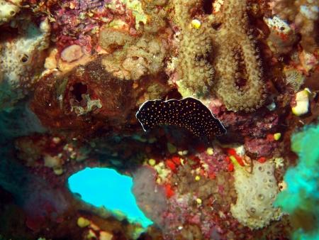 Sea slugs of the Red sea, Dahab photo