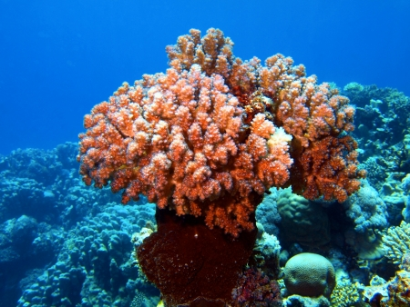 Stone coral, Red sea, Dahab Stock Photo