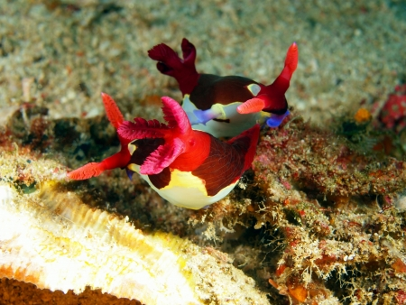 Sea slugs of the Philippine sea photo