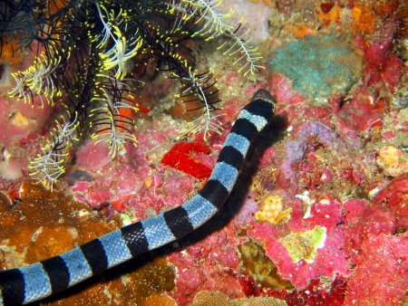 sea snake: Sea snake, Philippine sea