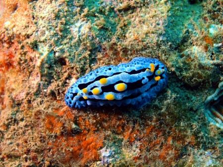 sea slug: Sea slugs of the South-Chinese sea