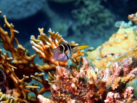 boxfish: Boxfish, Vietnam