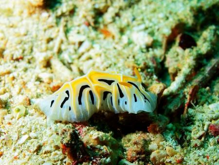 lesma: Sea lesma, ilha Maktan, filipino