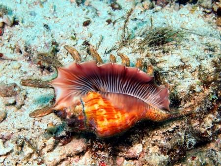 mollusc: Gastropoda mollusc, island Maktan, Philippine Stock Photo