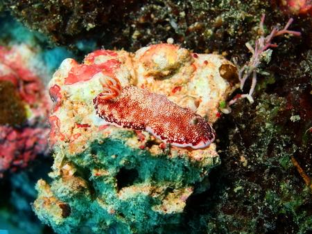 lesma: Sea slug, island Maktan, Philippine