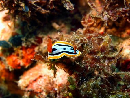 sea slug: Sea slug Stock Photo