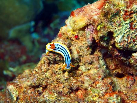 slug: Sea slug Stock Photo
