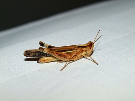 philippine: Tropical grasshopper, Philippine